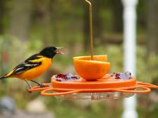 northern michigan oriole feeder